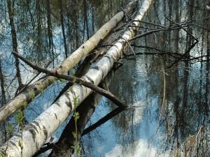 Árboles caídos en el agua