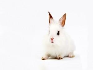 Pequeño conejo blanco