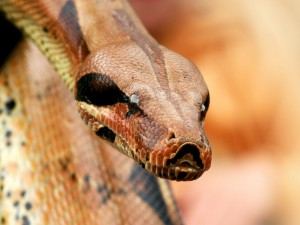 Serpiente de ojos negros