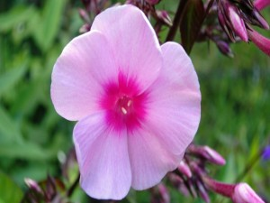 Postal: Flor rosa