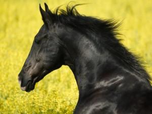Postal: Caballo negro entre flores amarillas