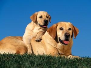 Postal: Perros en la hierba