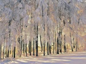 Rayos de sol entre los árboles nevados