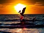 Pelícanos en el mar