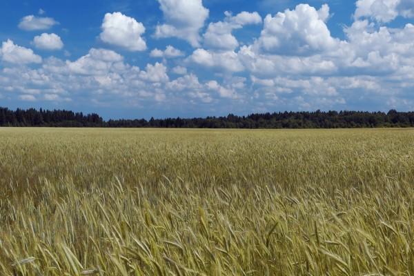 Campo de trigo bajo un cielo con nubes