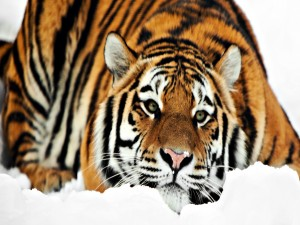 Postal: Precioso tigre tumbado en la nieve