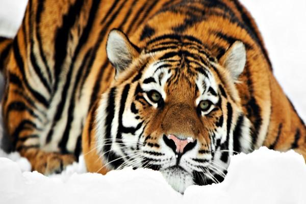 Precioso tigre tumbado en la nieve