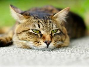 Un gato reposando en el suelo