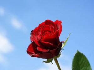 Postal: Una preciosa rosa bajo un cielo azul