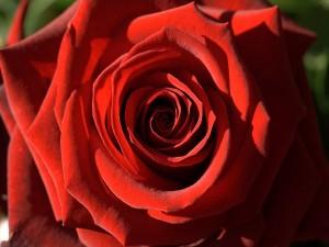 Postal: Rosa roja de la pasión