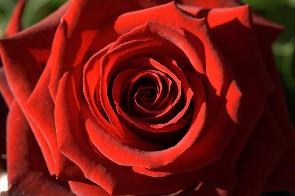 Rosa roja de la pasión