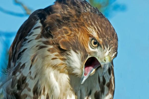 Halcón enojado