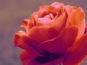 Postal: Preciosa rosa color salmón