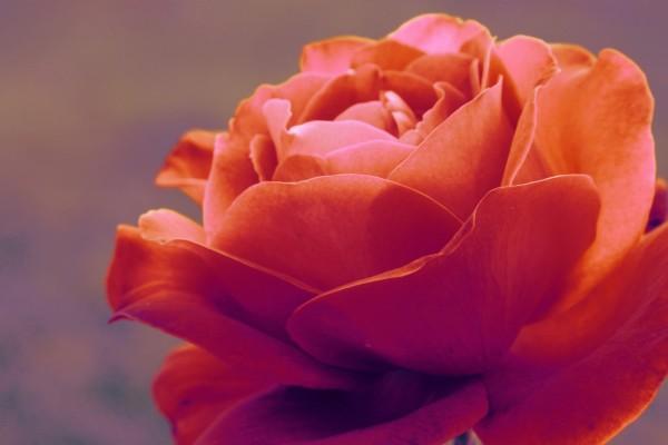 Preciosa rosa color salmón