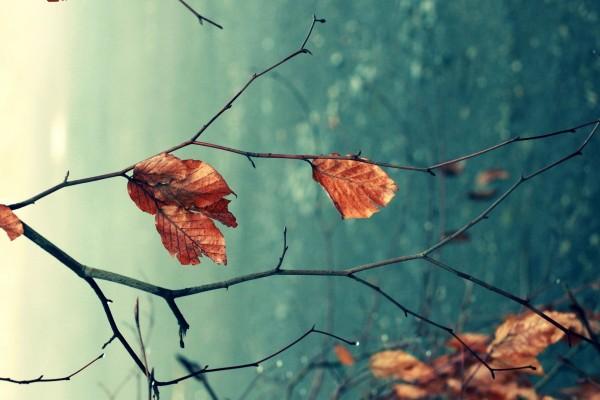 Hojas marrones en la rama