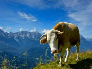 Vaca en las montañas
