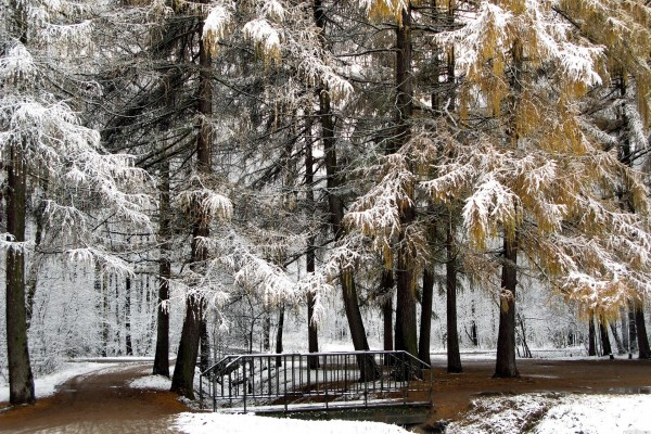 Bosque de abetos nevados