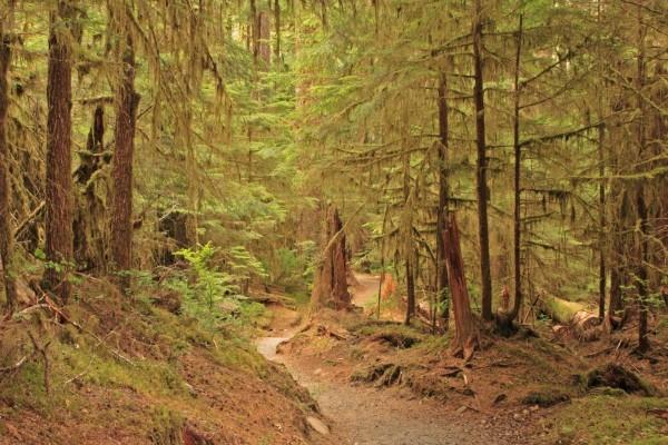 Camino entre los pinos del bosque
