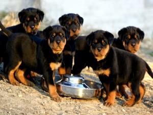 Cachorros de rottweiler