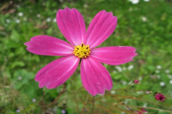 Flor rosa y centro amarillo
