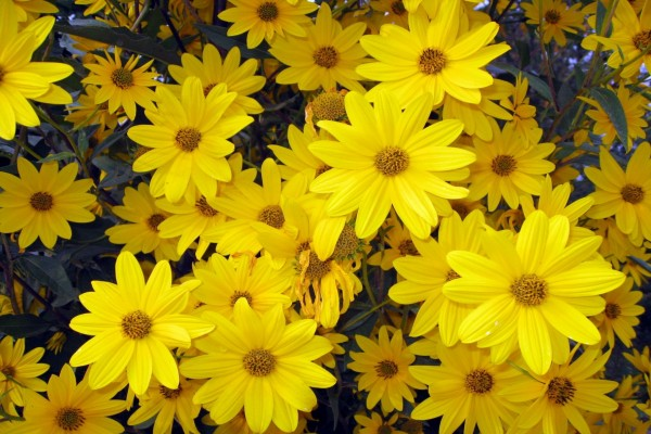 Muchas flores amarillas