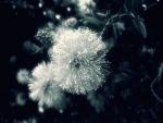 Flor pompón