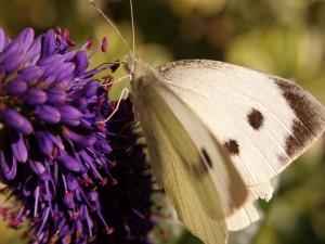 Postal: Mariposa posada en la flor morada