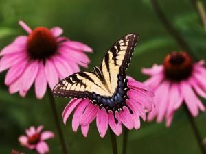 Mariposa sobre la flor rosa