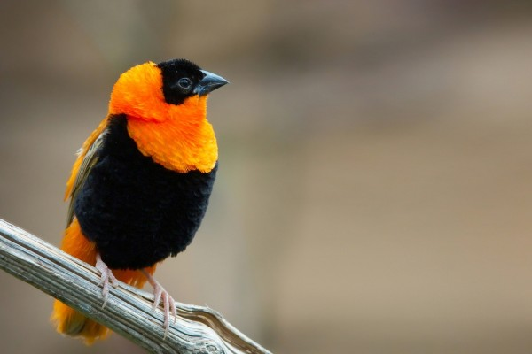 Pájaro naranja y negro