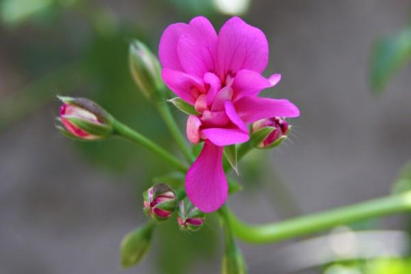 Bonita flor de color fucsia