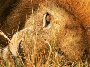 León sobre la hierba