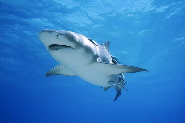 Tiburón bajo el mar azul