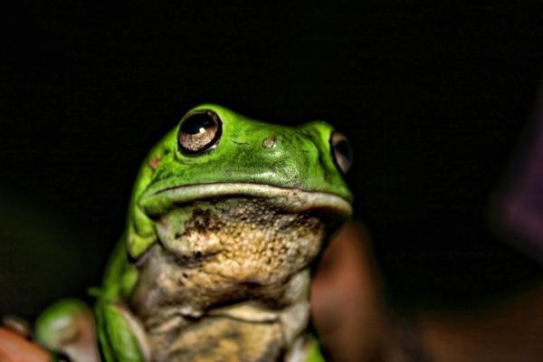 La cara de la rana