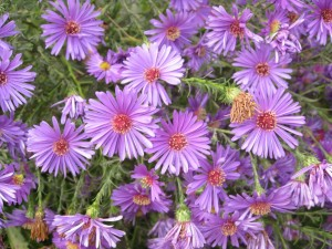 Flores de pétalos morados