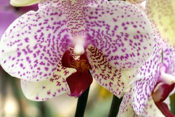 Orquídea blanca y puntos rosas