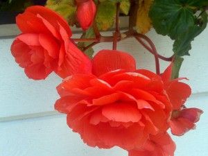 Postal: Flores rojas en la maceta