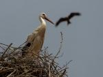 Cigüeña en su nido