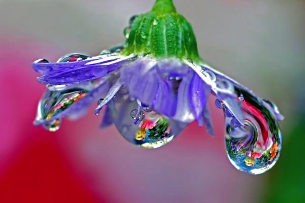 Grandes gotas de agua en los pétalos