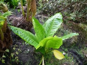 Planta de grandes hojas