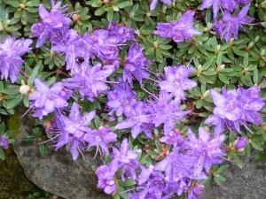 Postal: Flores moradas en el arbusto