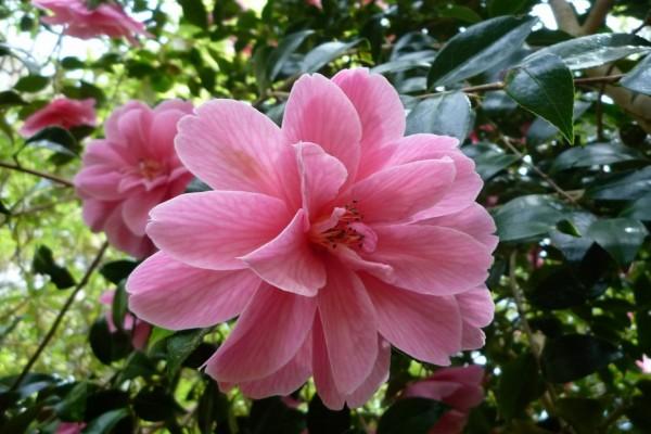 Preciosa flor rosa en el árbol