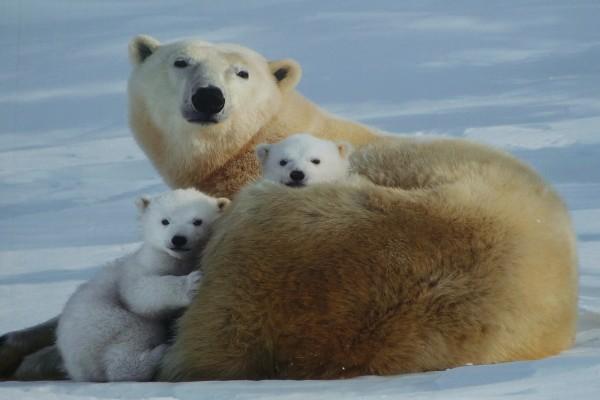 Osos polares en familia