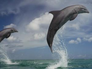 Postal: Delfines saltando en el mar