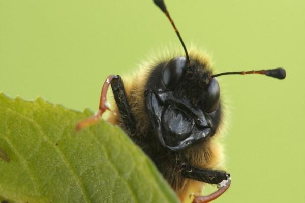La cara de un abejorro