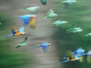 Loros en vuelo
