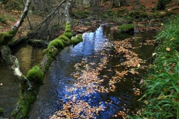 Hojas secas caídas en el río