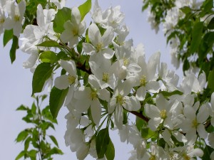 Postal: Flores en el manzano