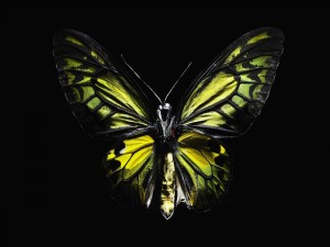 Postal: Mariposa amarilla y negra