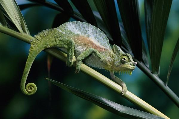 Camaleón andando por la rama