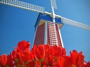 Tulipanes rojos junto a un molino de viento